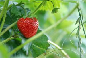 Comment faire pousser des fraises comment faire pousser - Comment faire pousser de la menthe ...