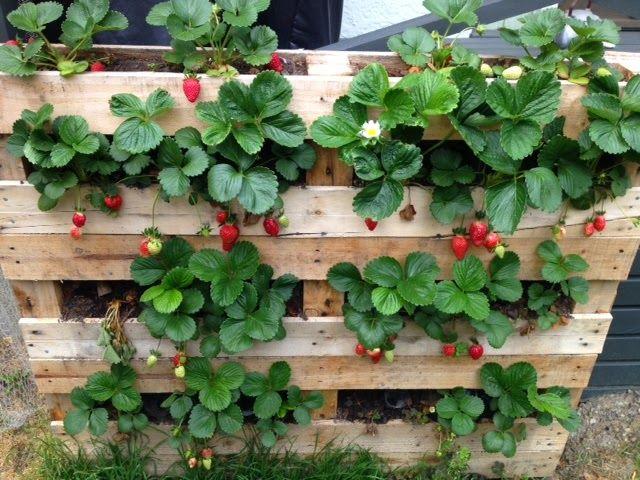 comment faire pousser des fraisiers sur palette maman nature